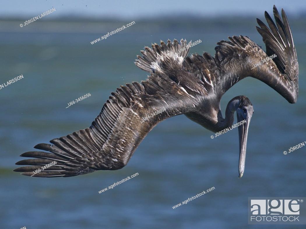 Stock Photo: Pelican, Sanibel, Florida, USA.