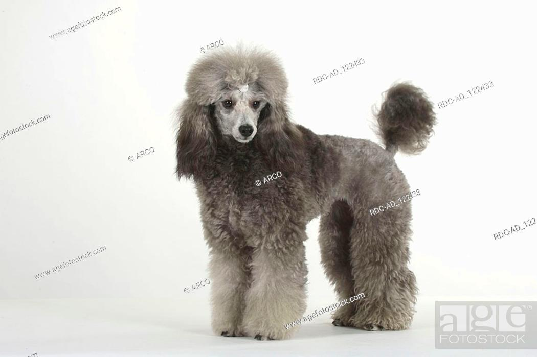 Miniature Poodle Silver Puppy Clip Stock Photo Picture And Rights Managed Image Pic Rdc Ad 122433 Agefotostock
