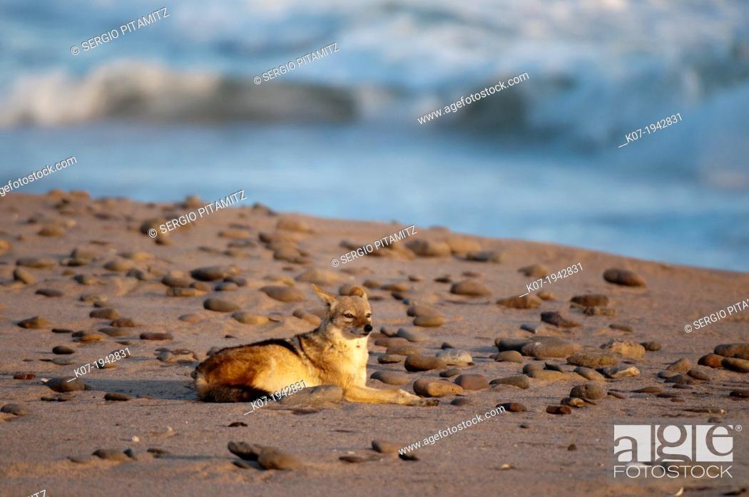 Stock Photo: Black-backed Jackal (Canis mesomelas), Skelton Coast National Park, Namibia.
