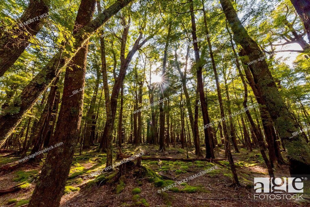 Imagen: Sun shining through the trees, forest, Mount Aspiring National Park, Otago, Southland, New Zealand.