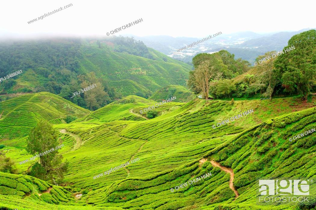 Stock Photo: Tea Plantation, Cameron Heightland, Malaysia.