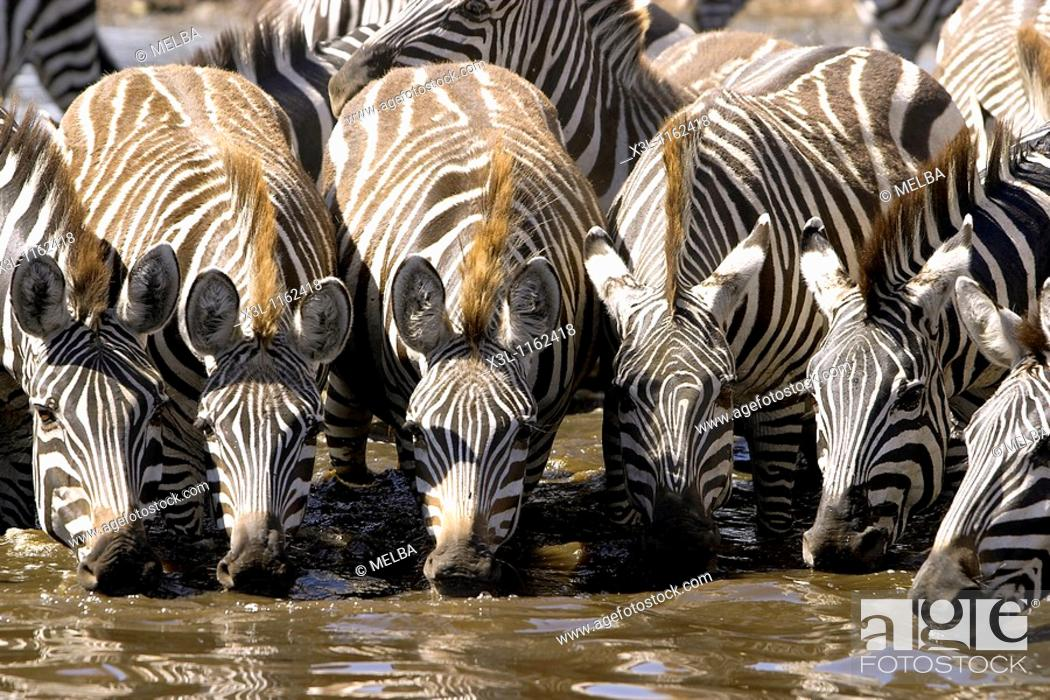 Stock Photo: Grant zebras Equus quagga boehmi Serengeti National Park Tanzania Africa.