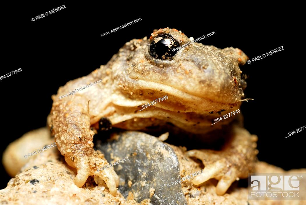 Stock Photo: Iberian midwife toad (Alytes cisternasii) in a pond of Valdemanco, Madrid, Spain.