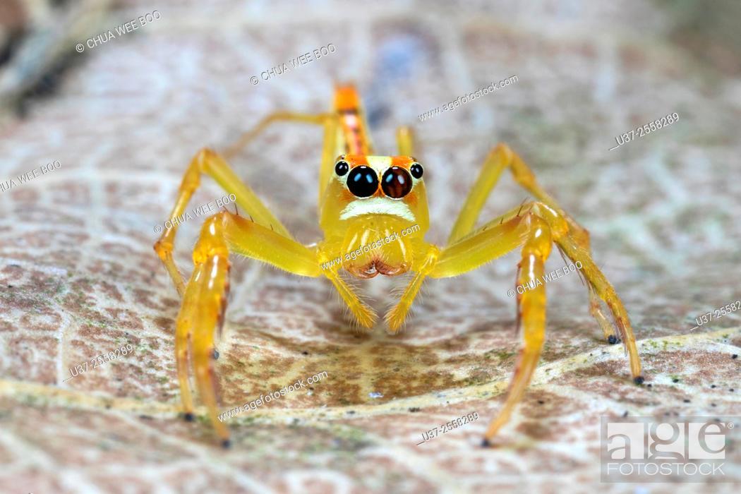 Stock Photo: Jumping spider. Image taken at Kampung Skudup, Sarawak, Malaysia.