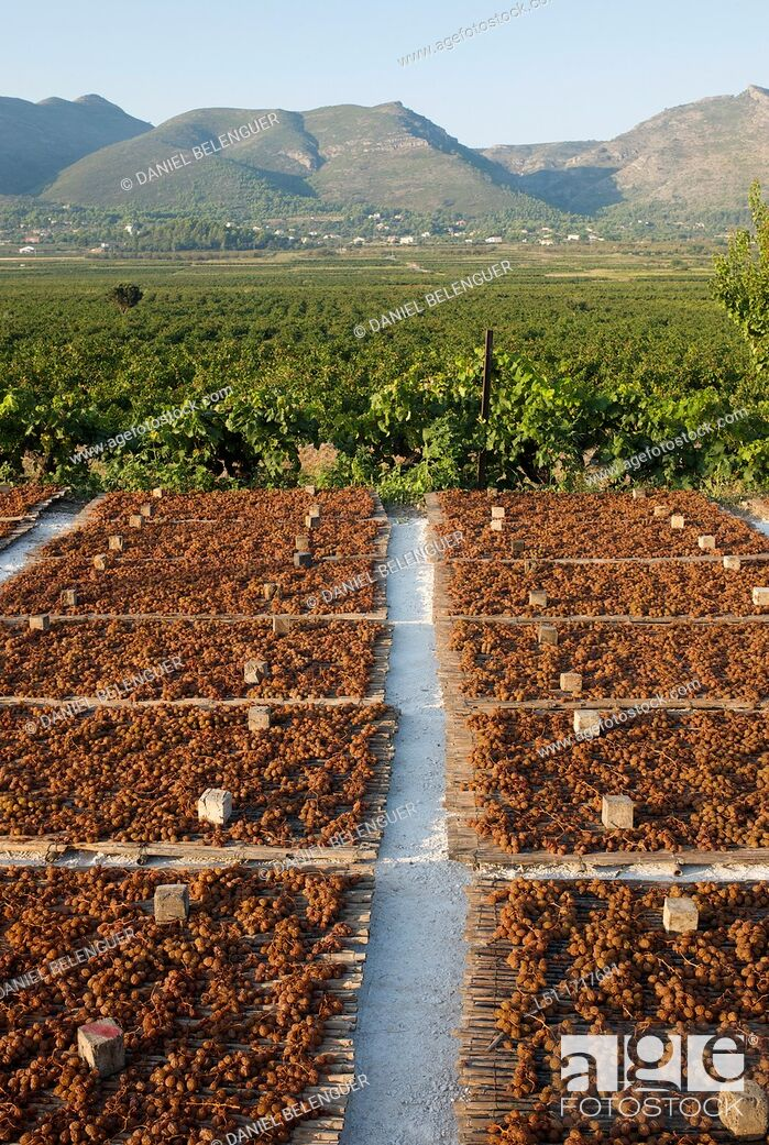 Stock Photo: Moscatel grapes drying at sun on drying shed, Lliber, Alicante, Spain.