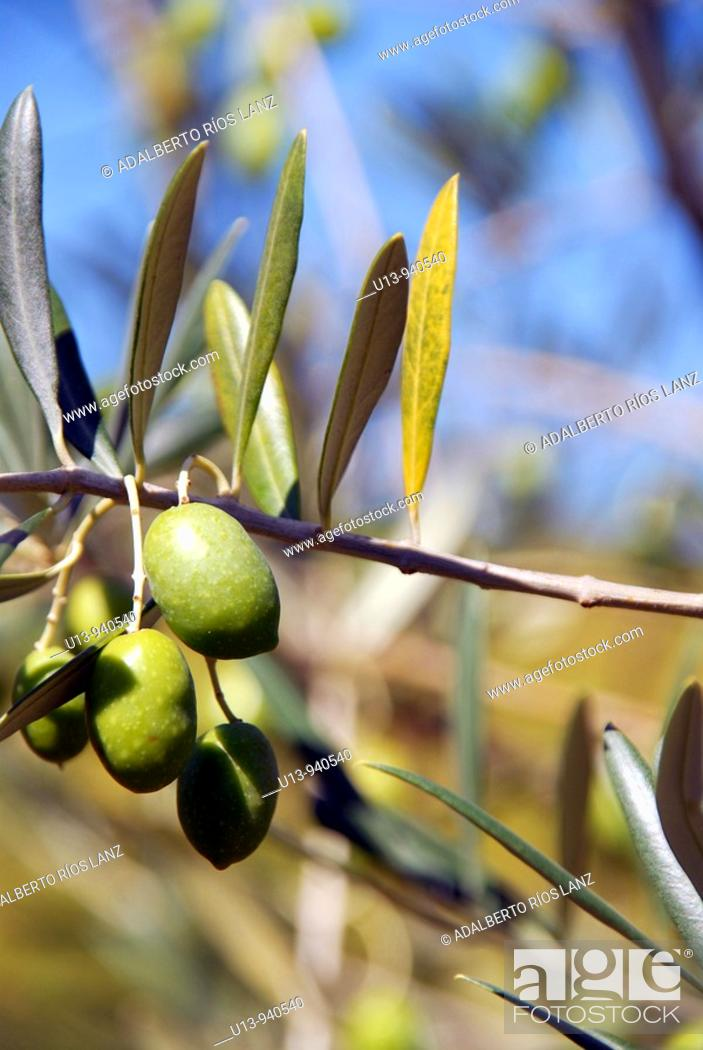 Stock Photo: Olives, Douro river valley, Pinheiro, Portugal.