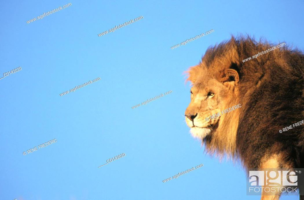 Stock Photo: Lion (Panthera leo), captive. African savannah.