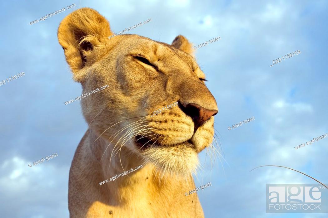 Stock Photo: Inquisitive young lion (Panthera leo) -wide angle perspective-, Maasai Mara National Reserve, Kenya.