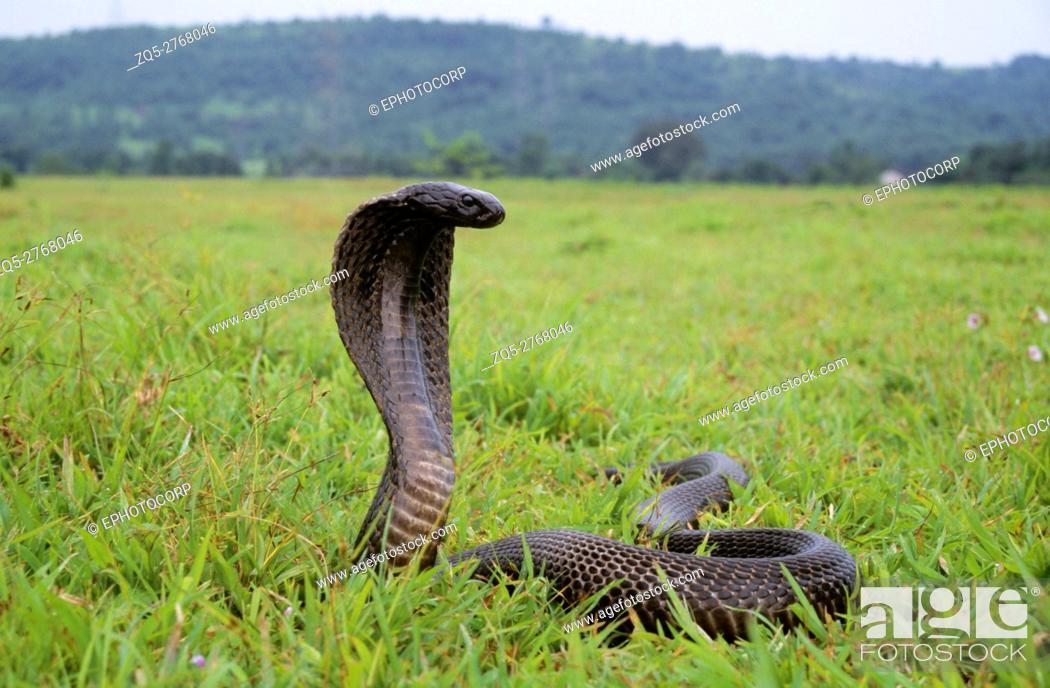 Stock Photo: Indian Cobra, Naja naja, Maharashtra, India.
