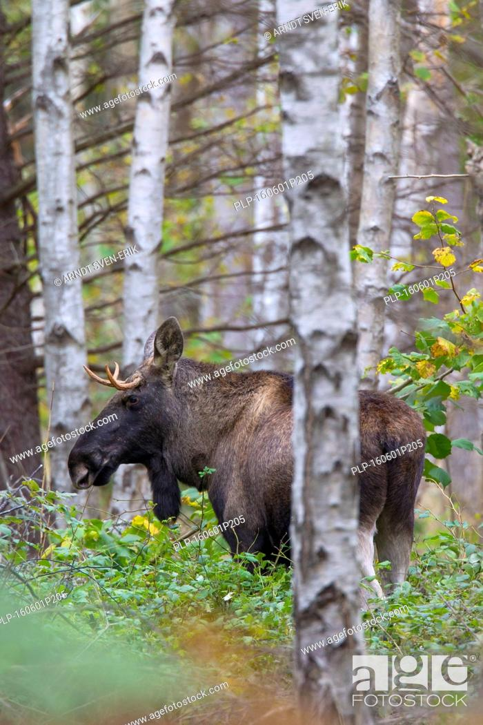 Stock Photo: Young moose bull (Alces alces) in birch forest in autumn, Scandinavia.