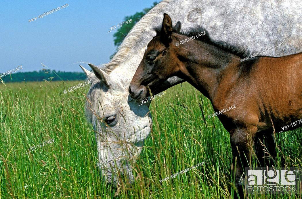 Stock Photo: Lusitano Horse, Mare with Foal standing in Meadow.