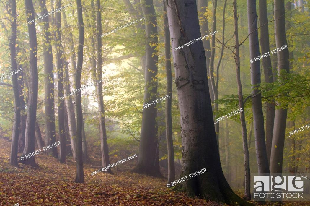 Stock Photo: Beech forest in autumn, fog in the morning, Bavaria, Germany.