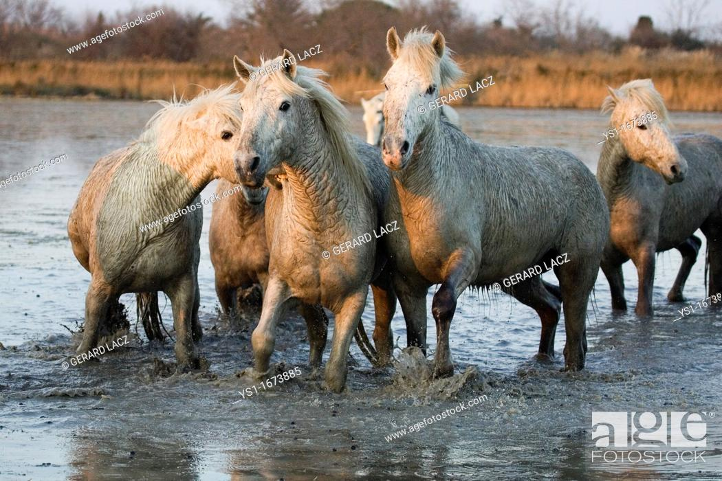 Photo de stock: Camargue Horse, Herd standing in Swamp, Saintes Marie de la Mer in South East of France.