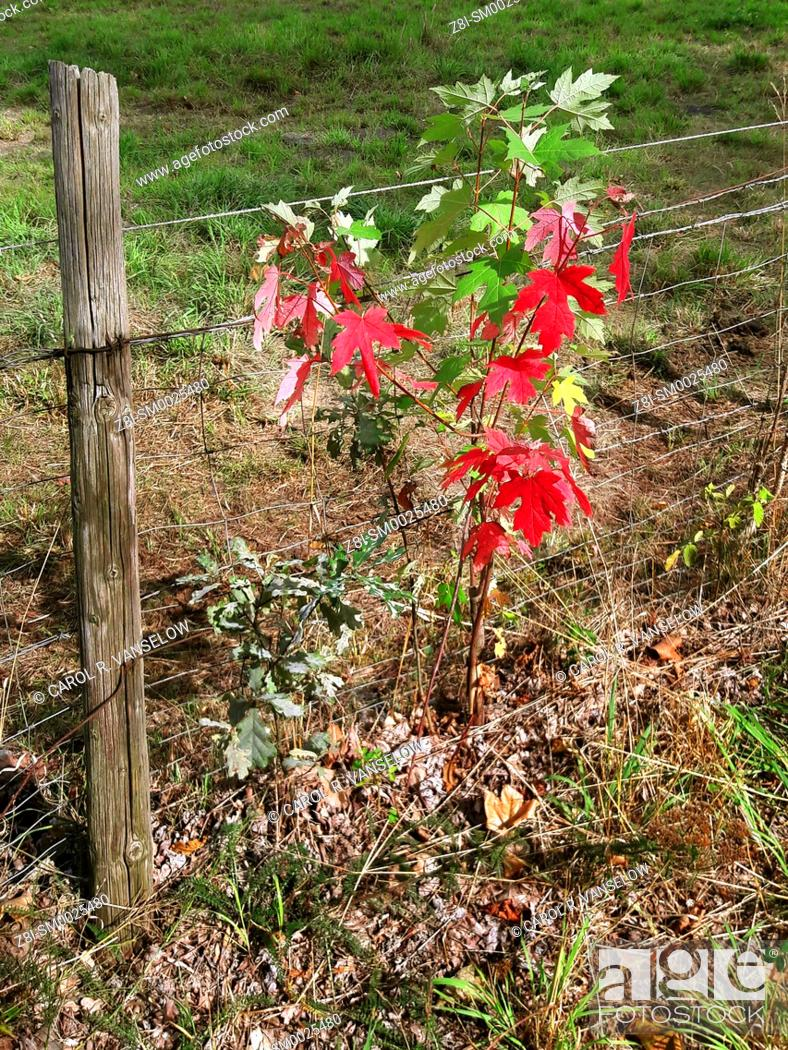 Stock Photo: Vines on chain fence with leaves beginning to turn colors in autumn. Shot taken in Limburg province of the Netherlands.