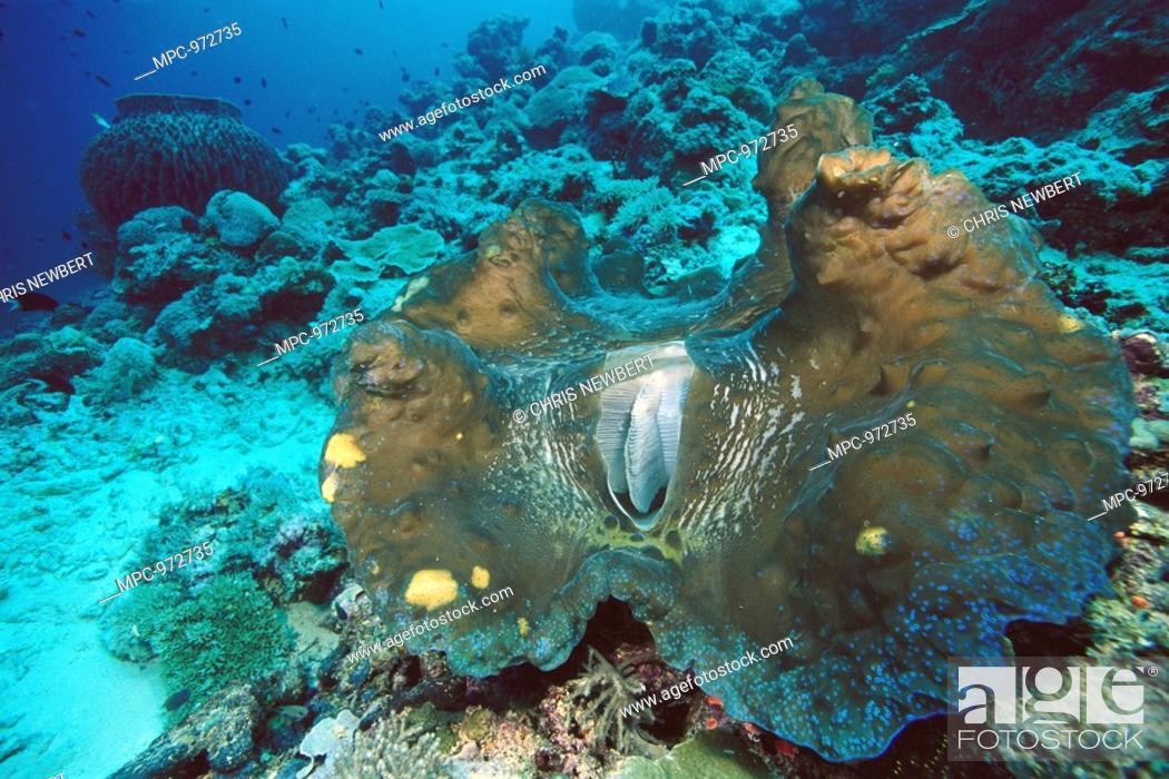 Largest Giant Clam