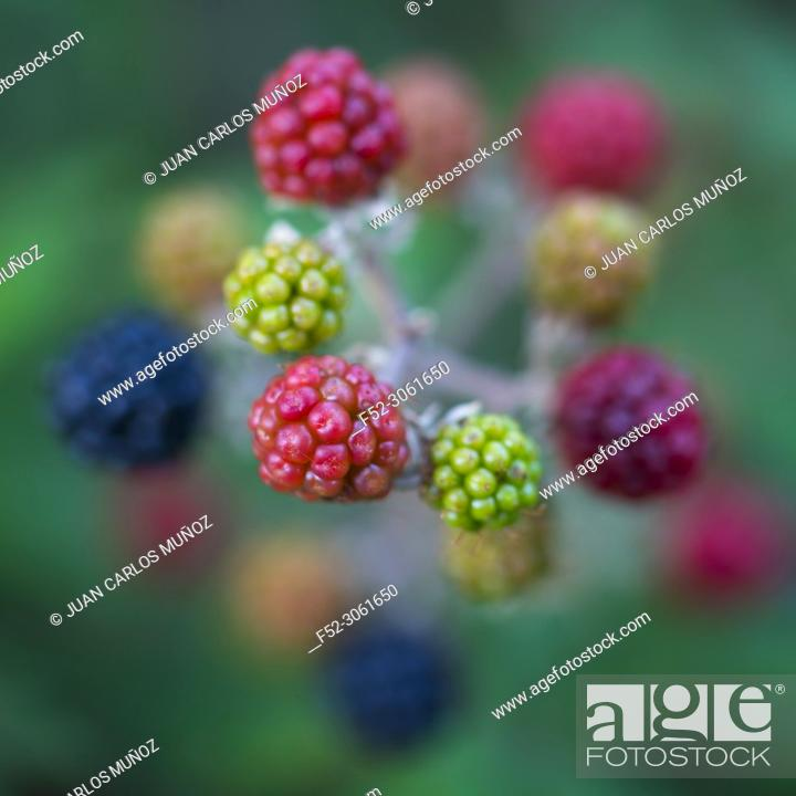 Imagen: RUBUS (Rubus sp)., Sobrarbe, Huesca, Aragon, Spain, Europe.