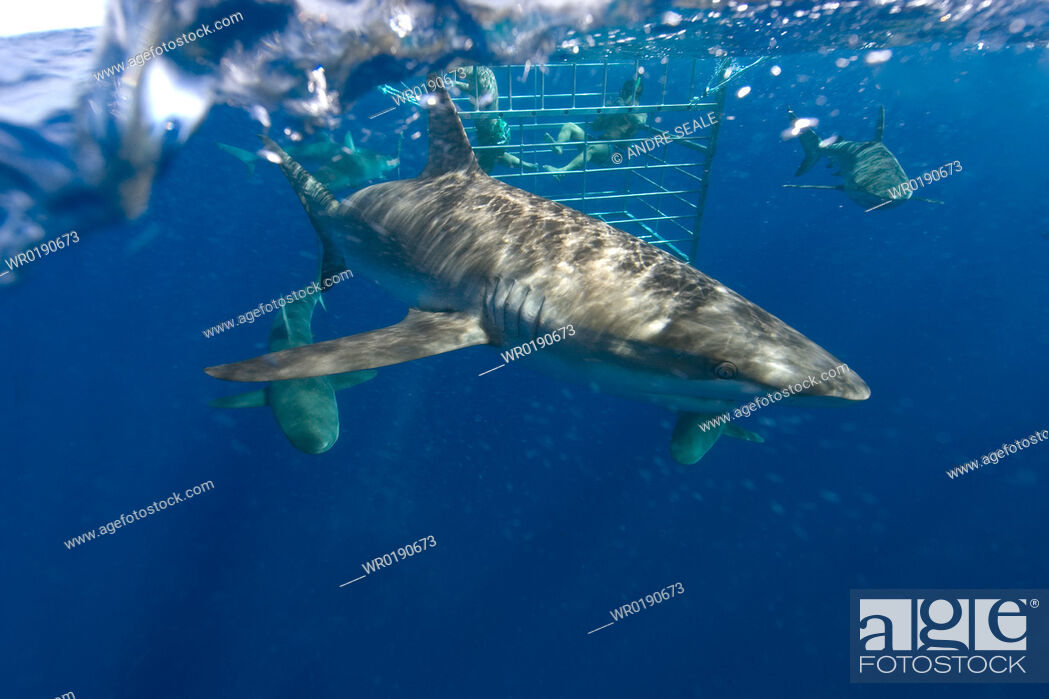 Stock Photo: Thrill seekers experience cage diving with Galapagos sharks, Carcharhinus galapagensis, North shore, Oahu, Hawaii, USA.