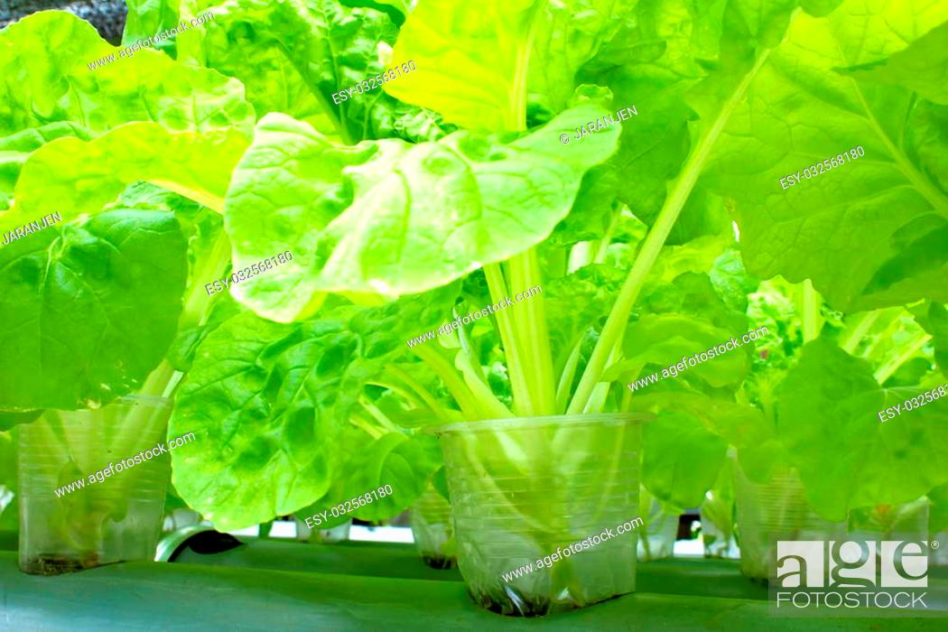 Stock Photo: Organic vegetables grown on plastic pipes, PVC water visibly rotating through. Do not use chemicals.