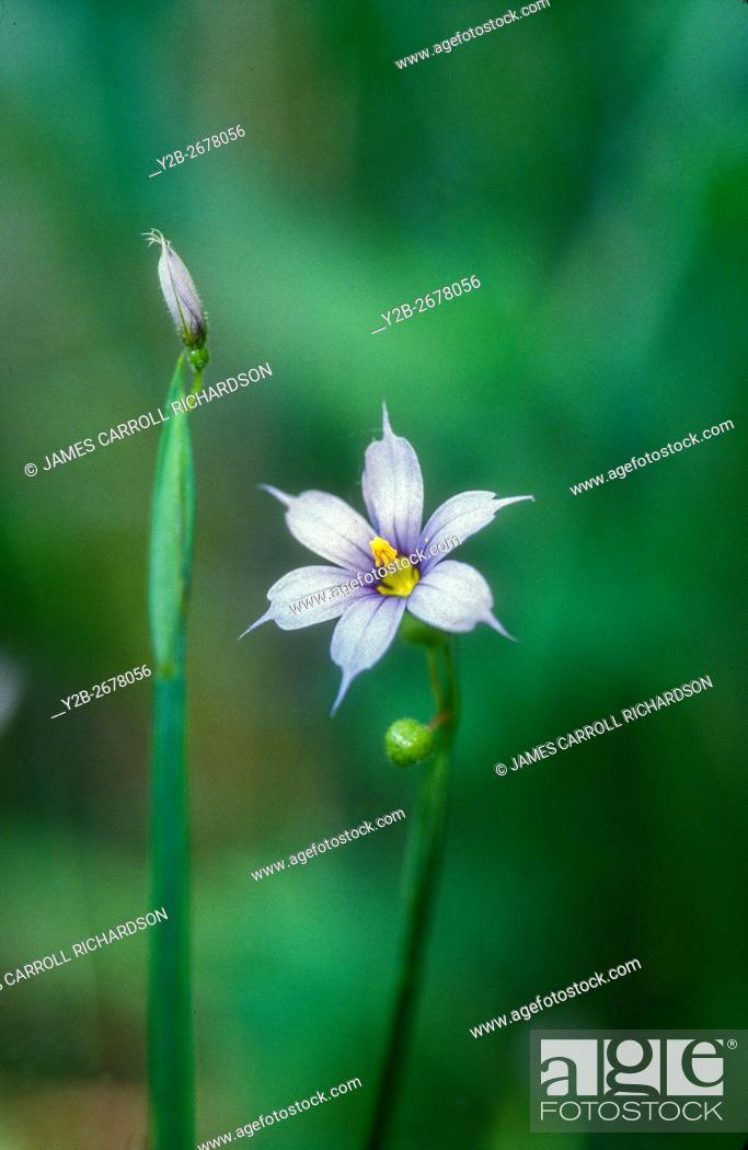 Stock Photo: Blue eyed grass (Sisrinchium angustifolium).