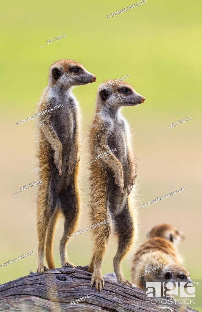 Stock Photo: Suricate (Suricata suricatta). Also called Meerkat. Two adults with young on the lookout. During the rainy season in green surroundings.