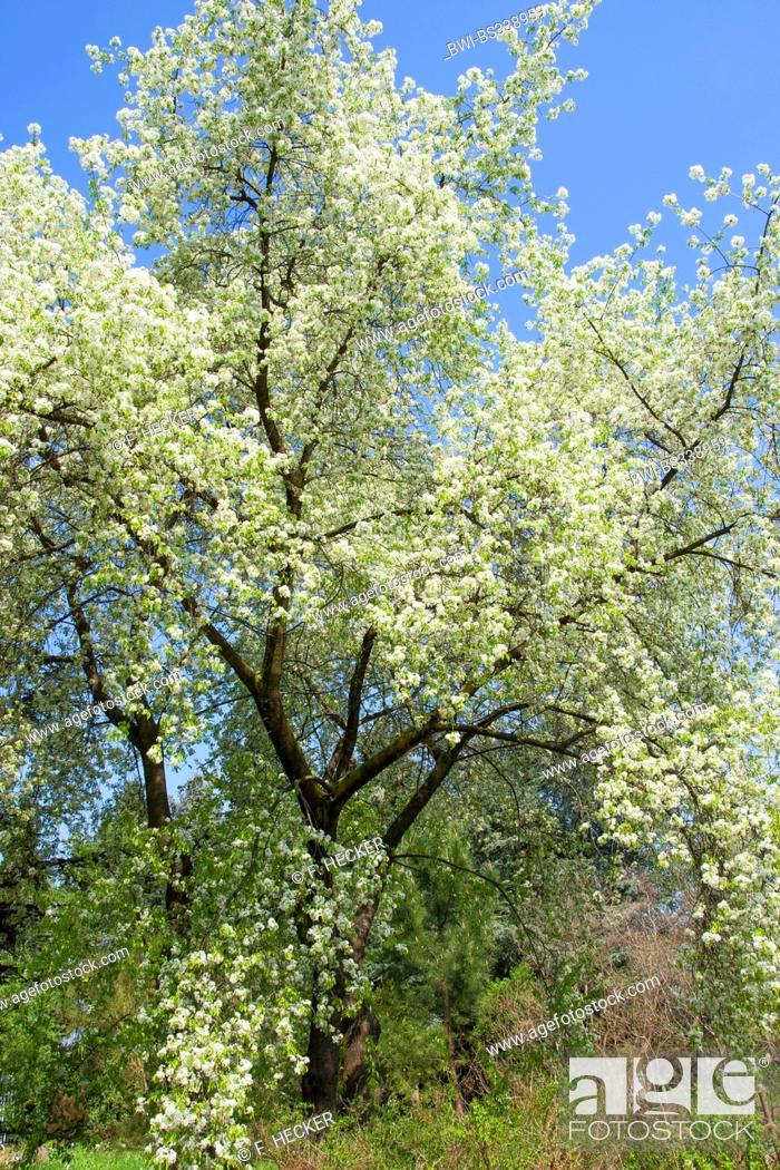 Perfumed cherry, St Lucie cherry, Mahaleb cherry (Prunus mahaleb ...
