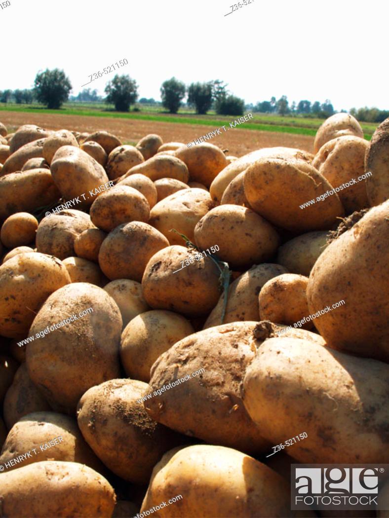 Stock Photo: Potatoes on field.
