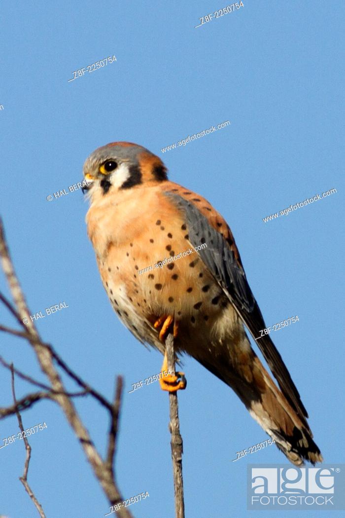 Stock Photo: American Kestrel .(Falco sparverius).Back Bay Reserve, California.