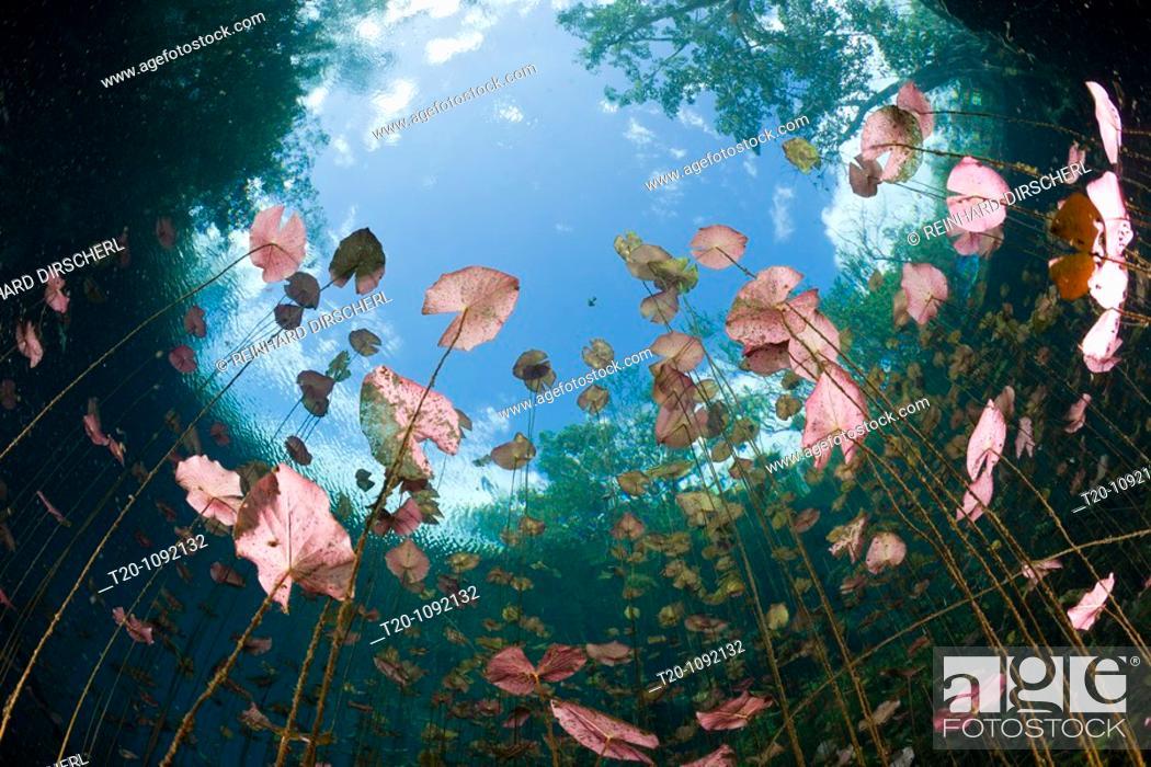 Stock Photo: Water Lilies in Car Wash Cenote Aktun Ha, Tulum, Yucatan Peninsula, Mexico.