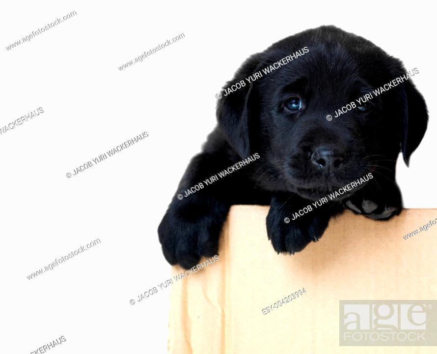 Cute black labrador puppy needing adoption while in a