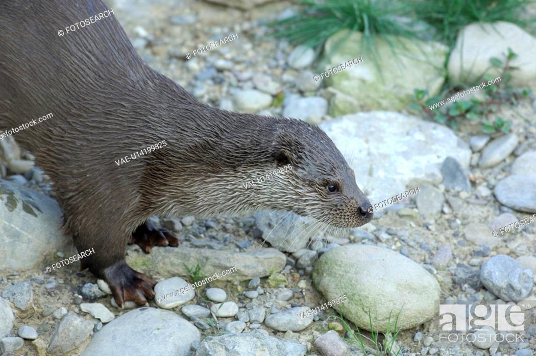 Stock Photo: canton, carnivore, fischotter, huwiler, lutra, marten, otter.