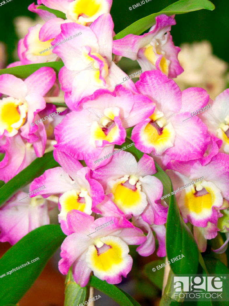 Stock Photo: Orchid (Cattleya sp.).