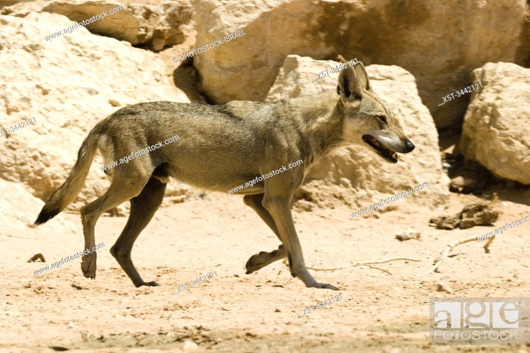 Stock Photo: Arabian wolf (aka desert wolf Canis lupus arabs). This wolf is subspecies of gray wolf. Photographed in Israel, Negev desert.