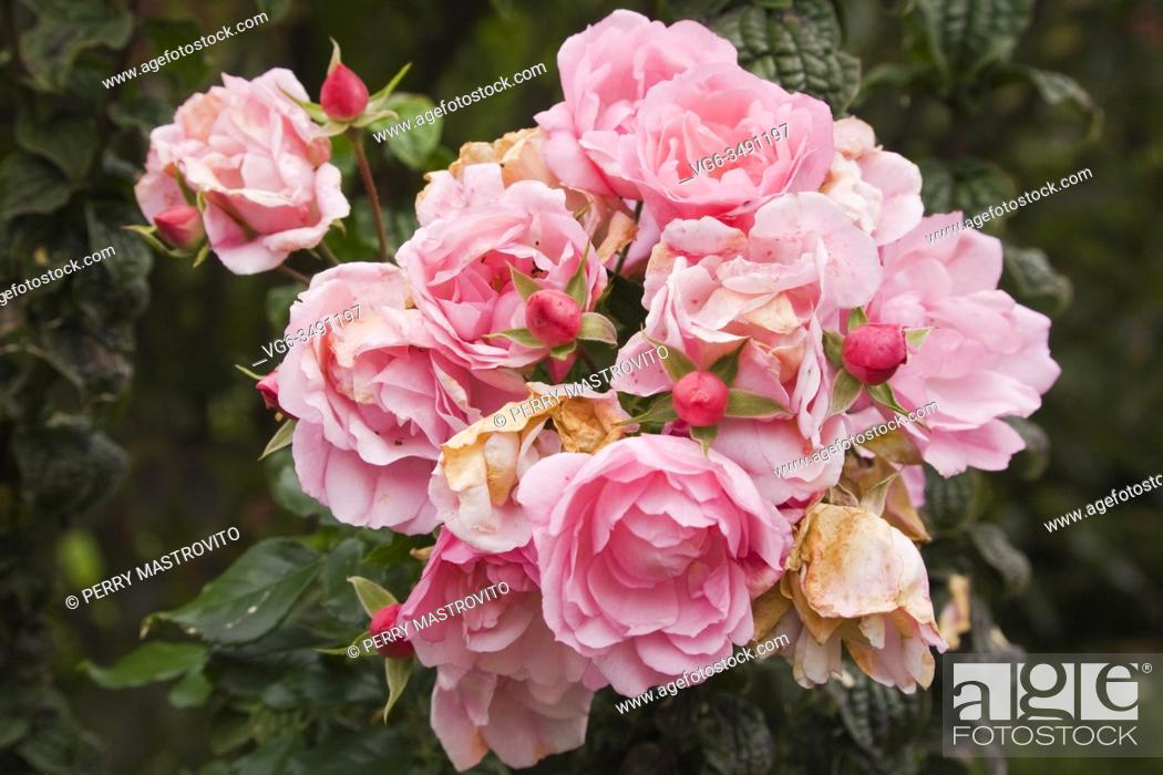 Stock Photo: Close-up of wilted pink Rosa 'Flower Carpet Appleblossom' - Rose flowers in backyard garden in autumn, Quebec, Canada. This image is property released for book.