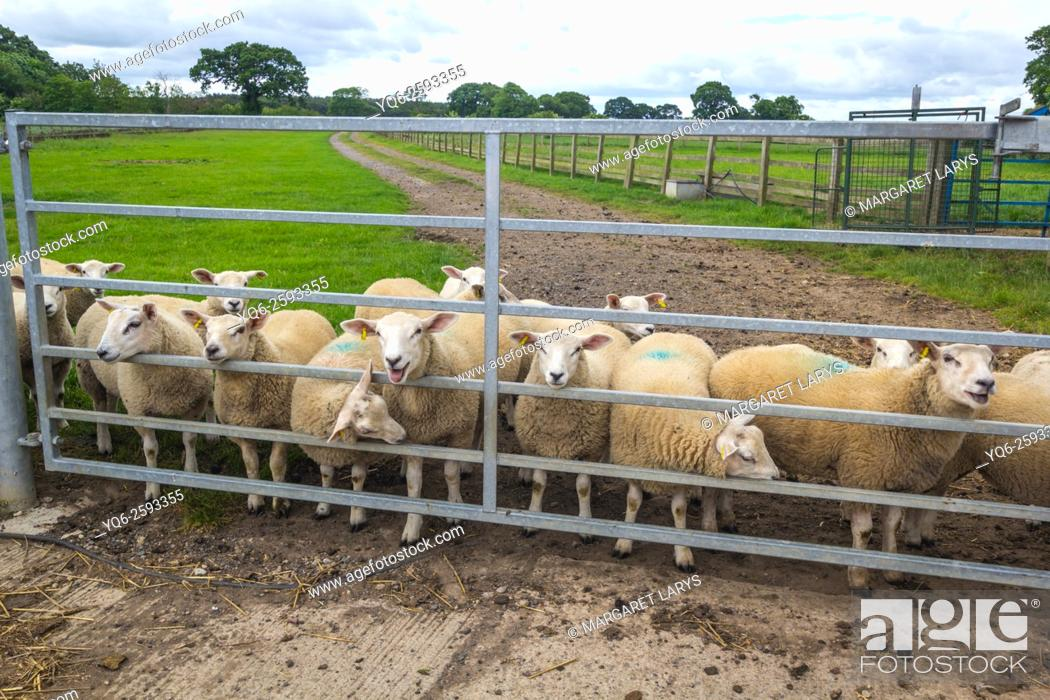 Stock Photo: Sheep at the farm behind metal fence, Yorkshire, England, United Kingdom.