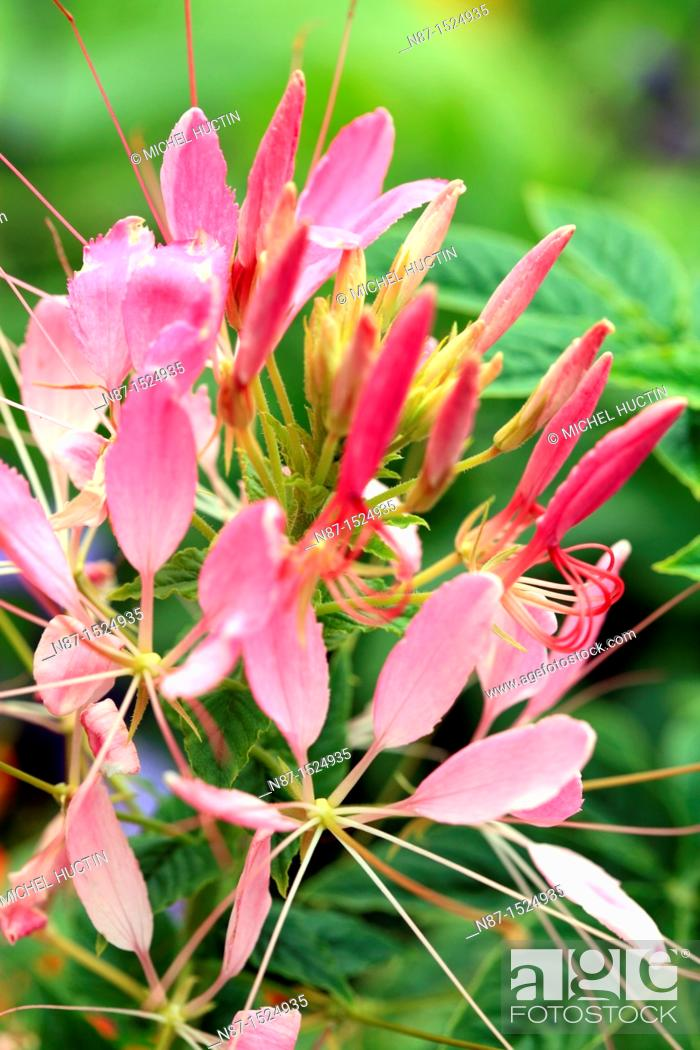 Stock Photo: Spider flower or Cleome spinosa.