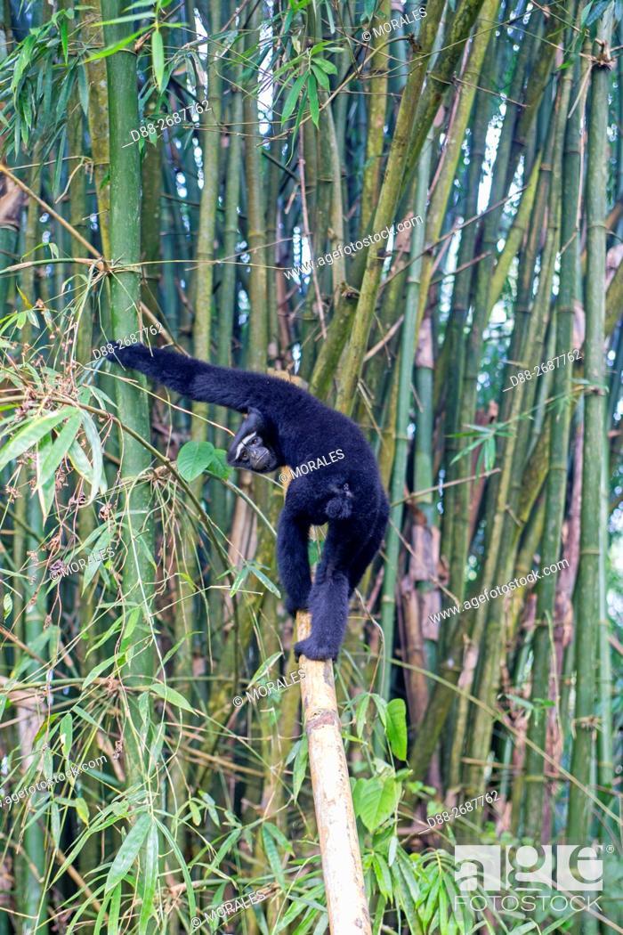 Stock Photo: South east Asia, India, Tripura state, Gumti wildlife sanctuary, Western hoolock gibbon (Hoolock hoolock), adult male.