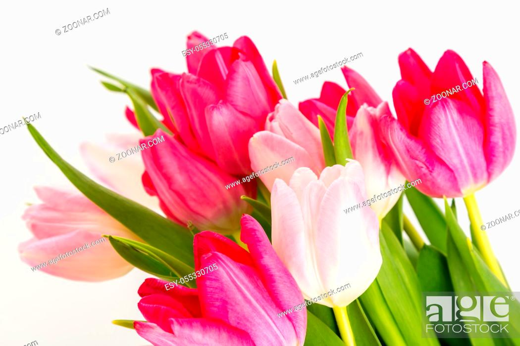 Stock Photo: Spring Fresh multicolored tulips isolated on white background. Congratulation. Valentine's Day, spring, Easter. Space for text.