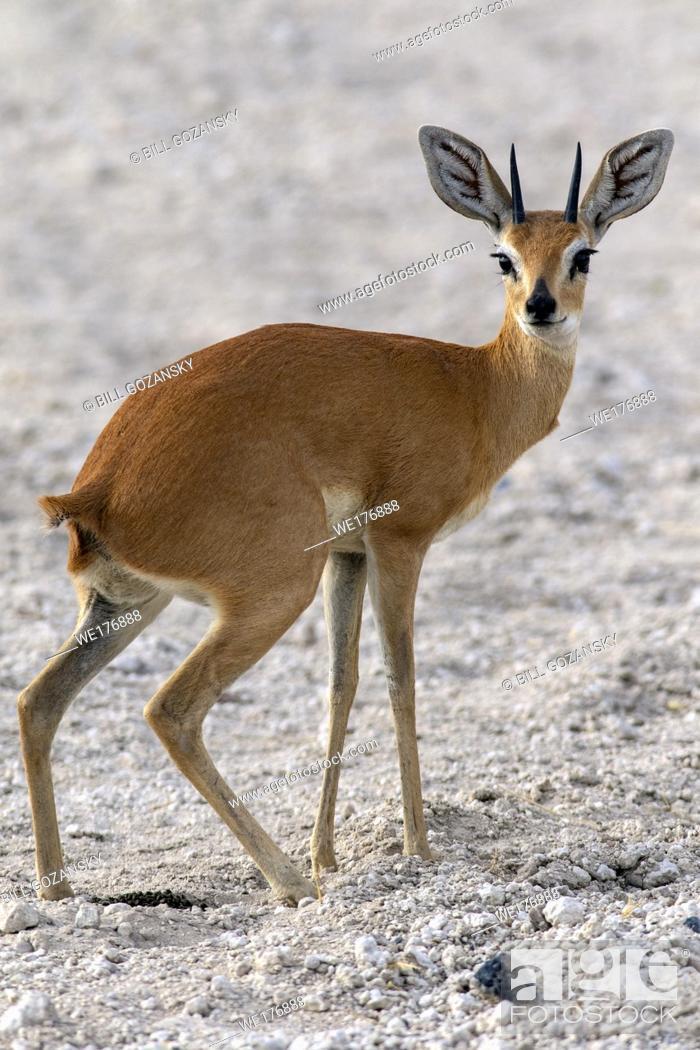 Stock Photo: Steenbok (Raphicerus campestris) - Safarihoek Lodge, Etosha Heights, near Etosha National Park, Namibia, Africa.