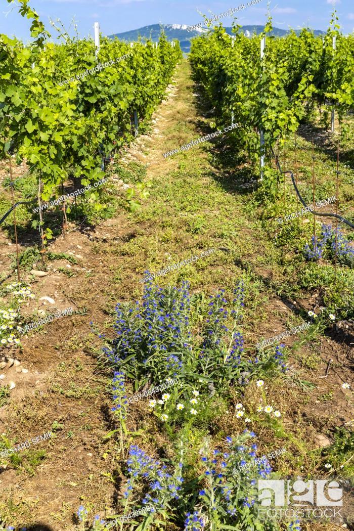 Stock Photo: Vineyards, Palava region, South Moravia, Czech Republic.