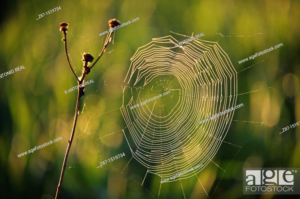 Stock Photo: Spider web, Almansa, Albacete province, Castilla-La Mancha, Spain.