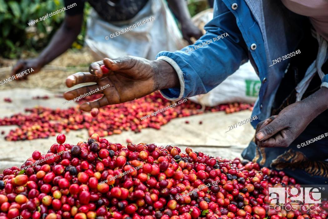 Stock Photo: Pickers remove unripe or overripe coffee beans and foreign debris from their daily harvest to prepare it for weighing at the Mubuyu Farm, Zambia.
