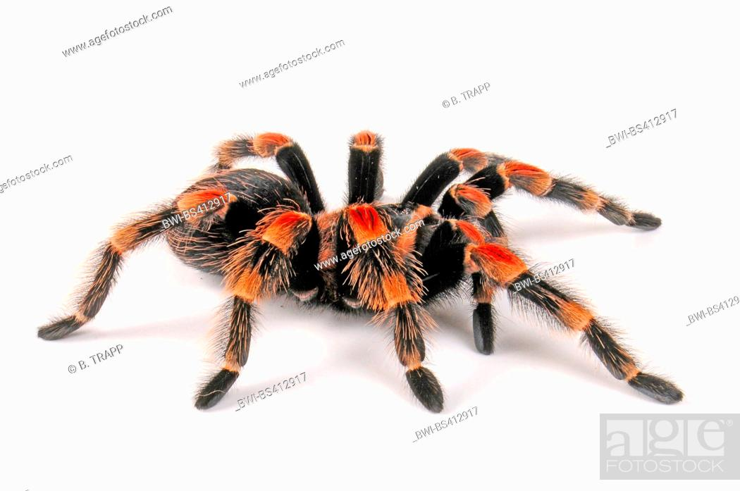 Stock Photo: Mexican redknee tarantula (Brachypelma smithi), cut-out, Mexico.