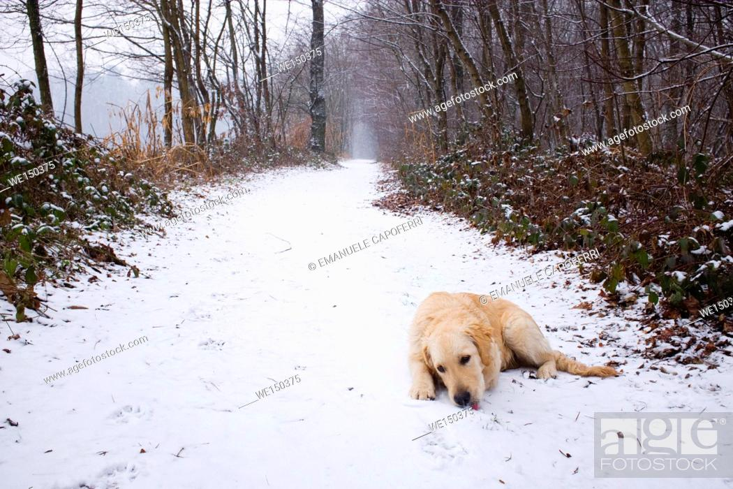 Stock Photo: Dog in the snow during a walk in the path in the woods.