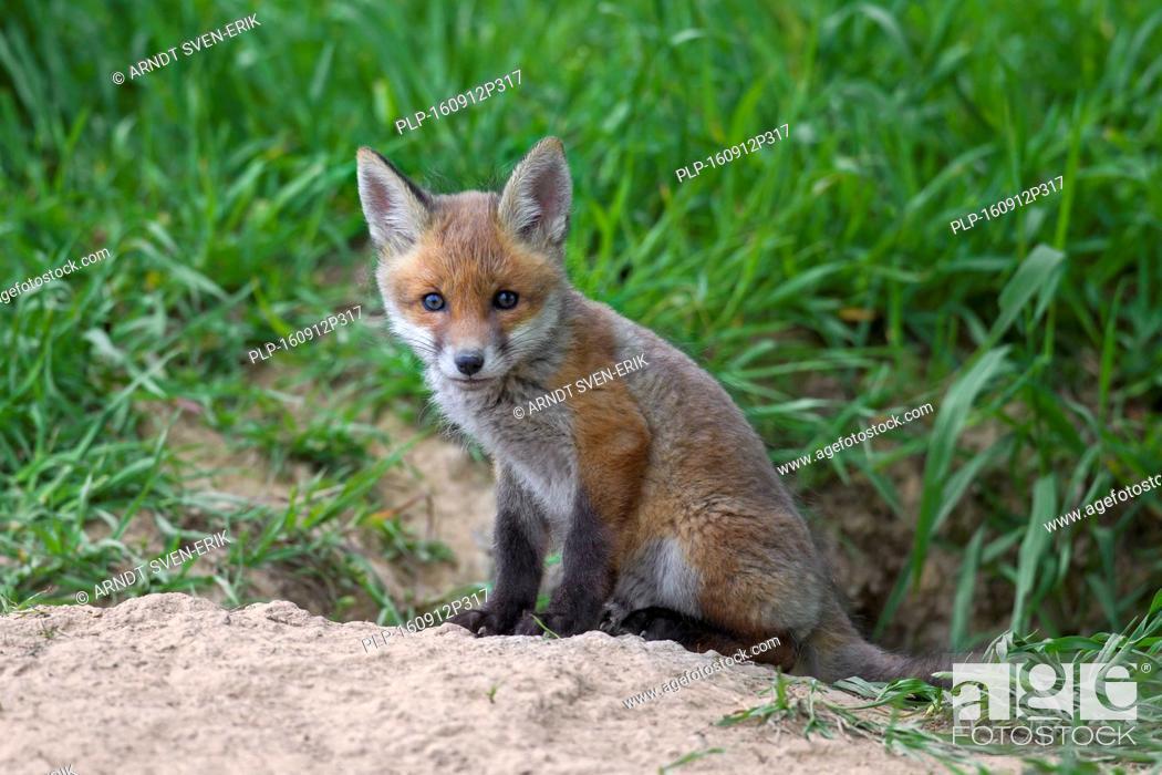 Cute red fox ( Vulpes vulpes) cub / kit sitting at entrance of den