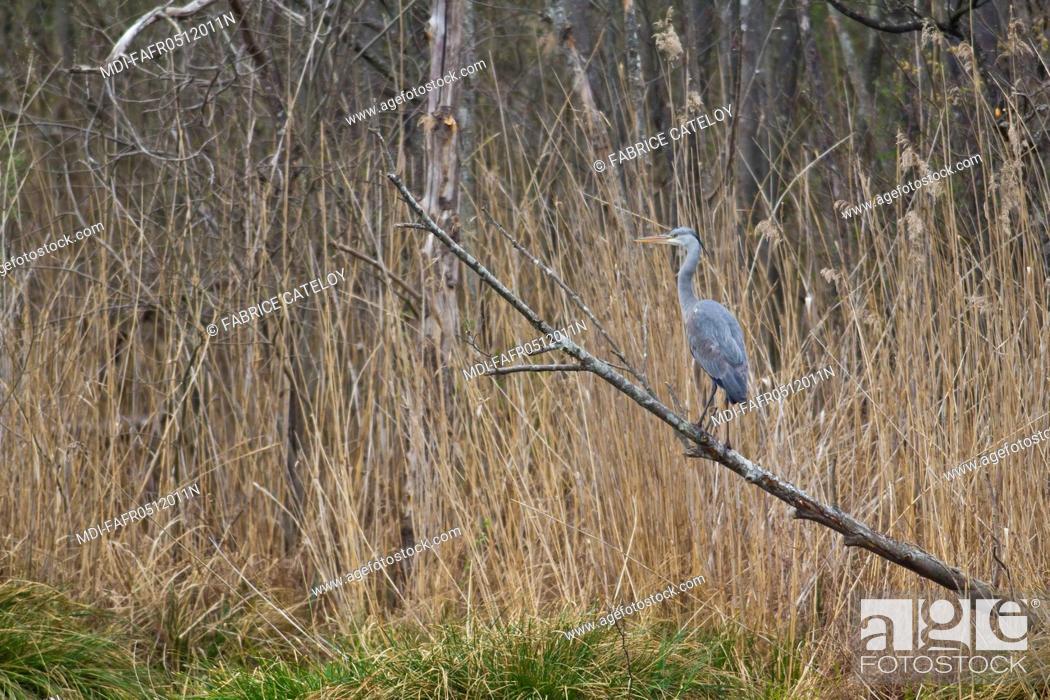 Stock Photo: Nature - Fauna - Bird - Grey heron on a branch.