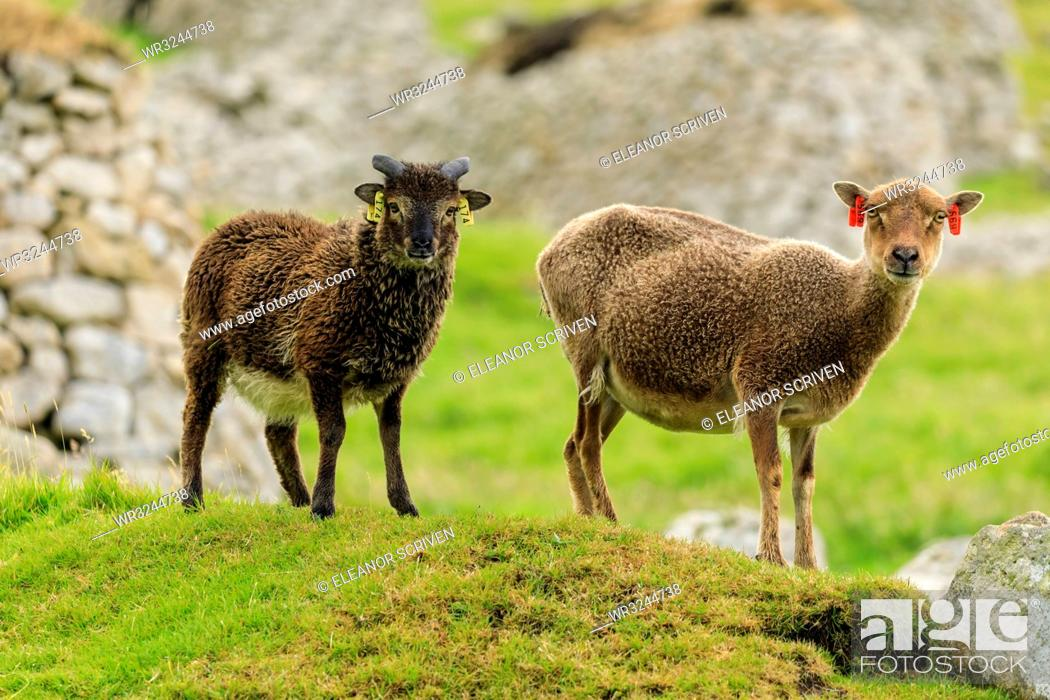 Stock Photo: Wild Soay sheep and lamb, ancient breed, stone remains of village, Hirta, St. Kilda Archipelago, UNESCO World Heritage Site, Outer Hebrides, Scotland.