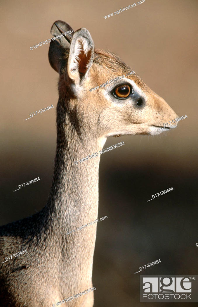 Stock Photo: Dik-Dik (Madoqua kirkii). Samburu National Reserve.