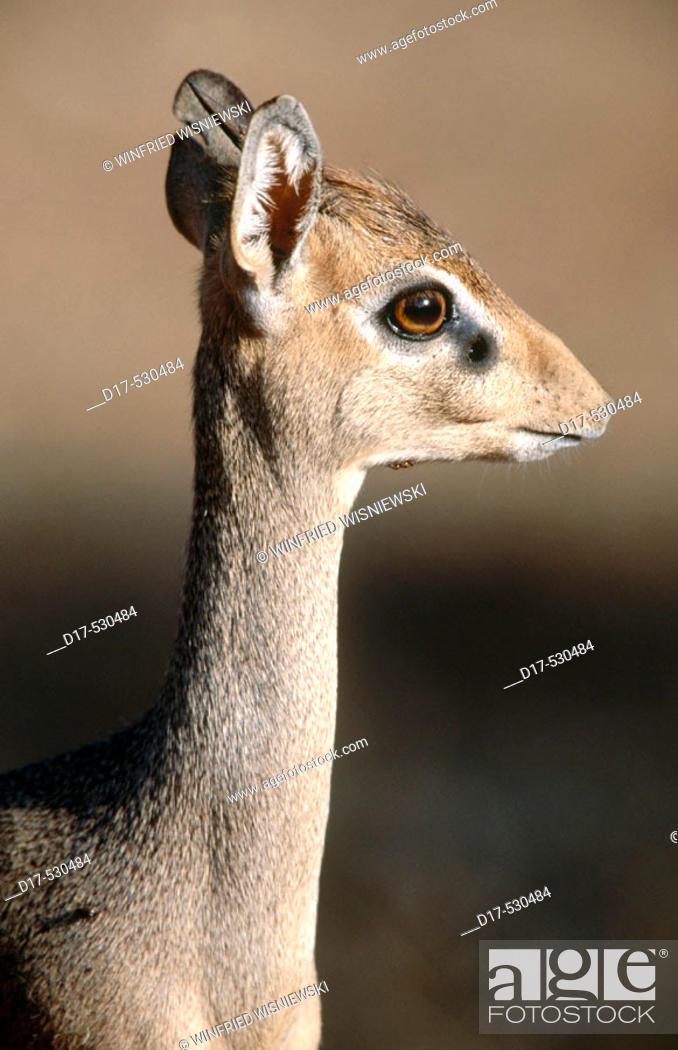 Stock Photo: Dik-Dik (Madoqua kirkii). Samburu National Reserve.