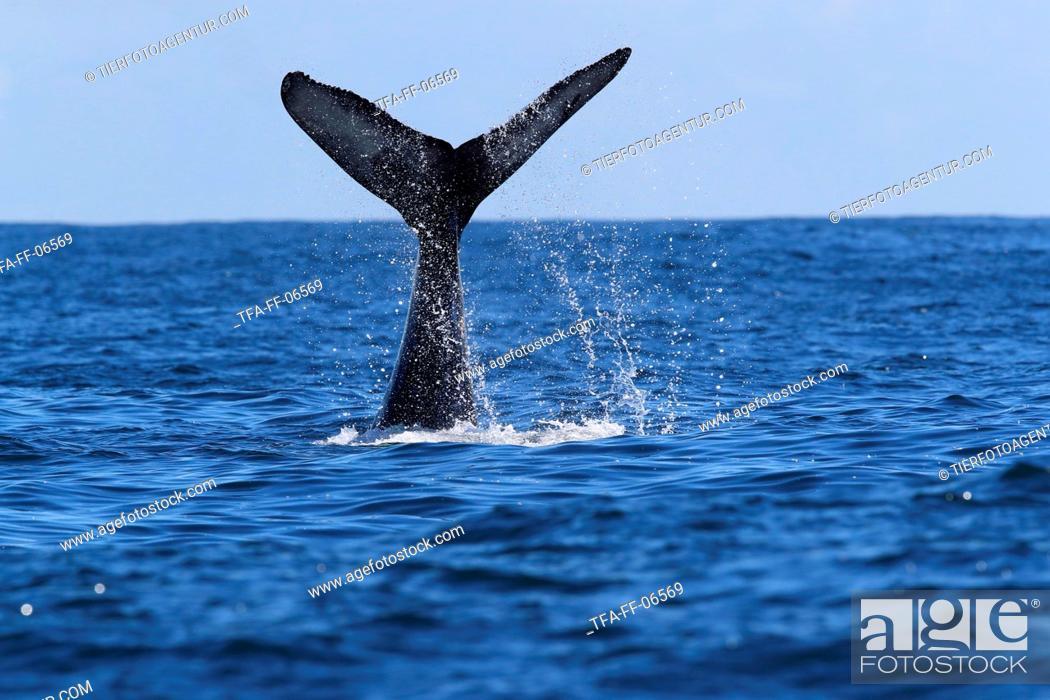 Stock Photo: humpback whale.