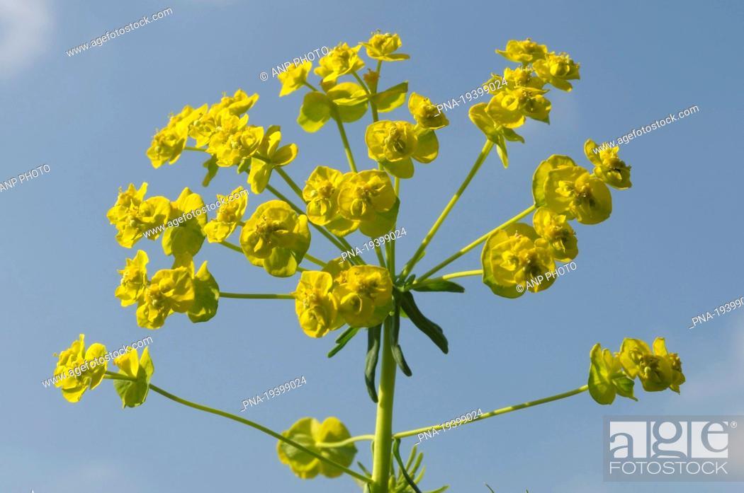 Stock Photo: Cypress Spurge Euphorbia cyparissias - North Brabant, The Netherlands, Holland, Europe.